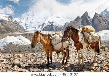 Pack Horses In The Karakorum, Pakistan