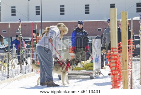 Husky At Dog Pulling Sled Competition