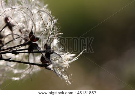 close up of Old Man's beard plant in autumn poster