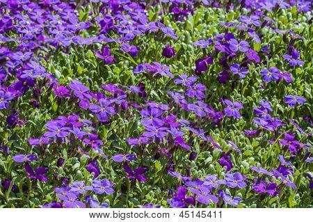 Aubrieta Plant