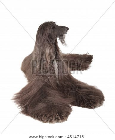 Sunward Edelweiss Afghan Hound International Champion Champion of Eurasia-2013 Dog Show (CACIB BOB BIG-3) poster