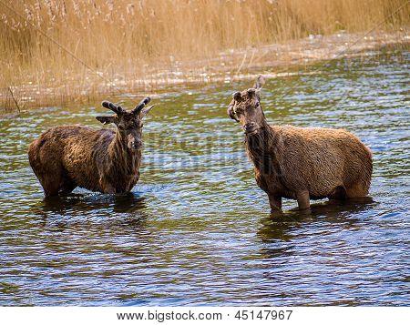 Juvenile Deer Roaming Freely