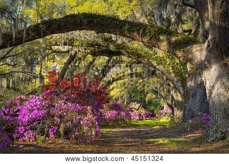 Charleston Sc Spring Azalea Flowers South Carolina Plantation