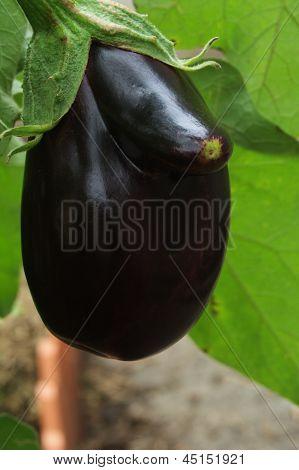 Strange eggplant