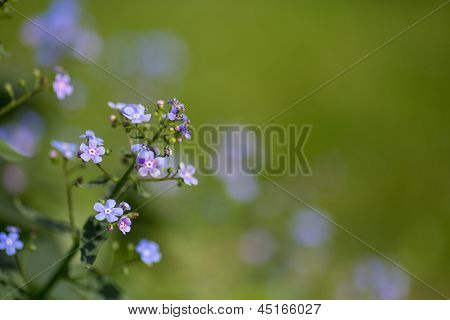 Forget-me-not Blue Flowers