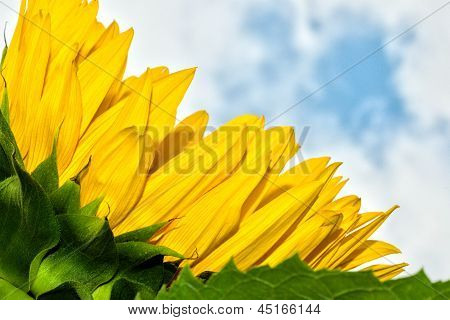 Sunflower Rests