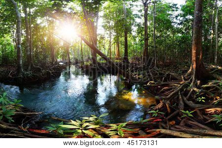 Mangrove trees in a peat swamp forest and a river with clear water. Tha Pom canal, Krabi province, Thailand