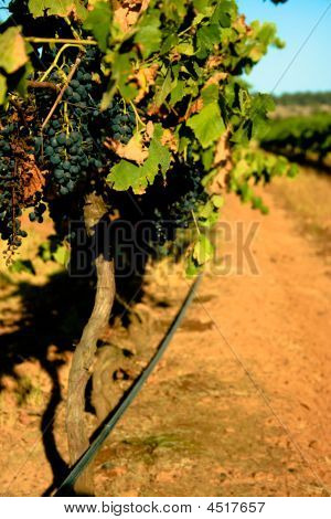 Down The Vines
