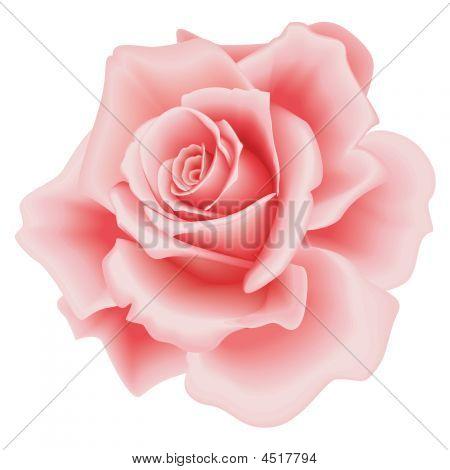 Geïsoleerde roze Rose