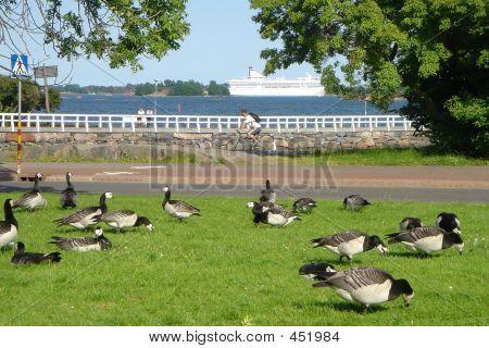 Flight Of Flying Geese In Park Of City Helsinki
