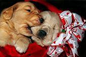 Golden retriever pups in a valentine basket. poster