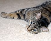 Brown tabby stretching out to sleep looks cautiously towards the frame. poster