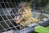 A monitor lizard climbing in the metal cage poster