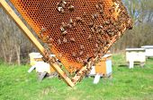 Bees on honeycomb in apiary in the springtime poster