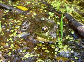 Macro view of a large bullfrog in a natural surrounding with duckweed. poster