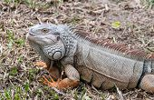 Big iguana reptile animals in the tropics Thailand poster