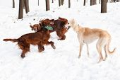 Two irish setters and white hound walking on snow poster