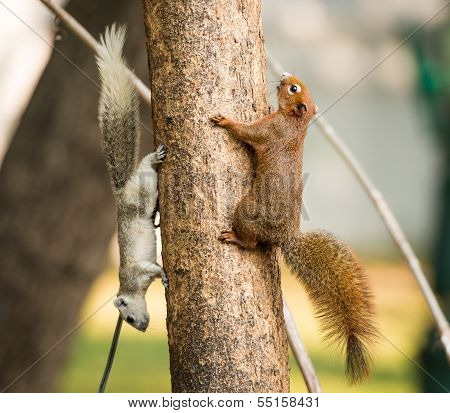 close up squirrel or small gong Small mammals native to the tropical forests at Thailand poster