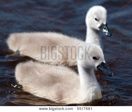 Two Fluffy White Cygnets