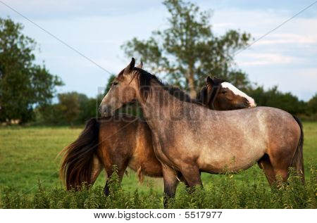 Horses Cleaning Each Other