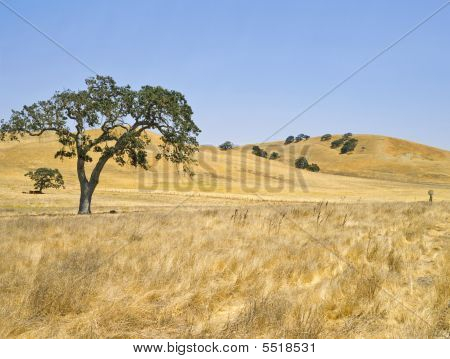 Oak Tree and golden hills