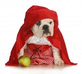 little red riding hood - english bulldog dressed up in red dress and cape with apple on white background poster