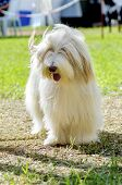 A young happy beautiful white fawn Bearded Collie standing on the grass. Beardie dogs have a long coat and were used for herding. poster