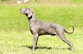 A young beautiful silver blue gray Weimaraner dog standing on the lawn with no docked tail. The Grey Ghost is a hunting gun dog originaly bred for royalty and nobility. poster