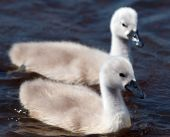 Two fluffy white cygnets floating on a pond in Richmond Park Surrey. poster