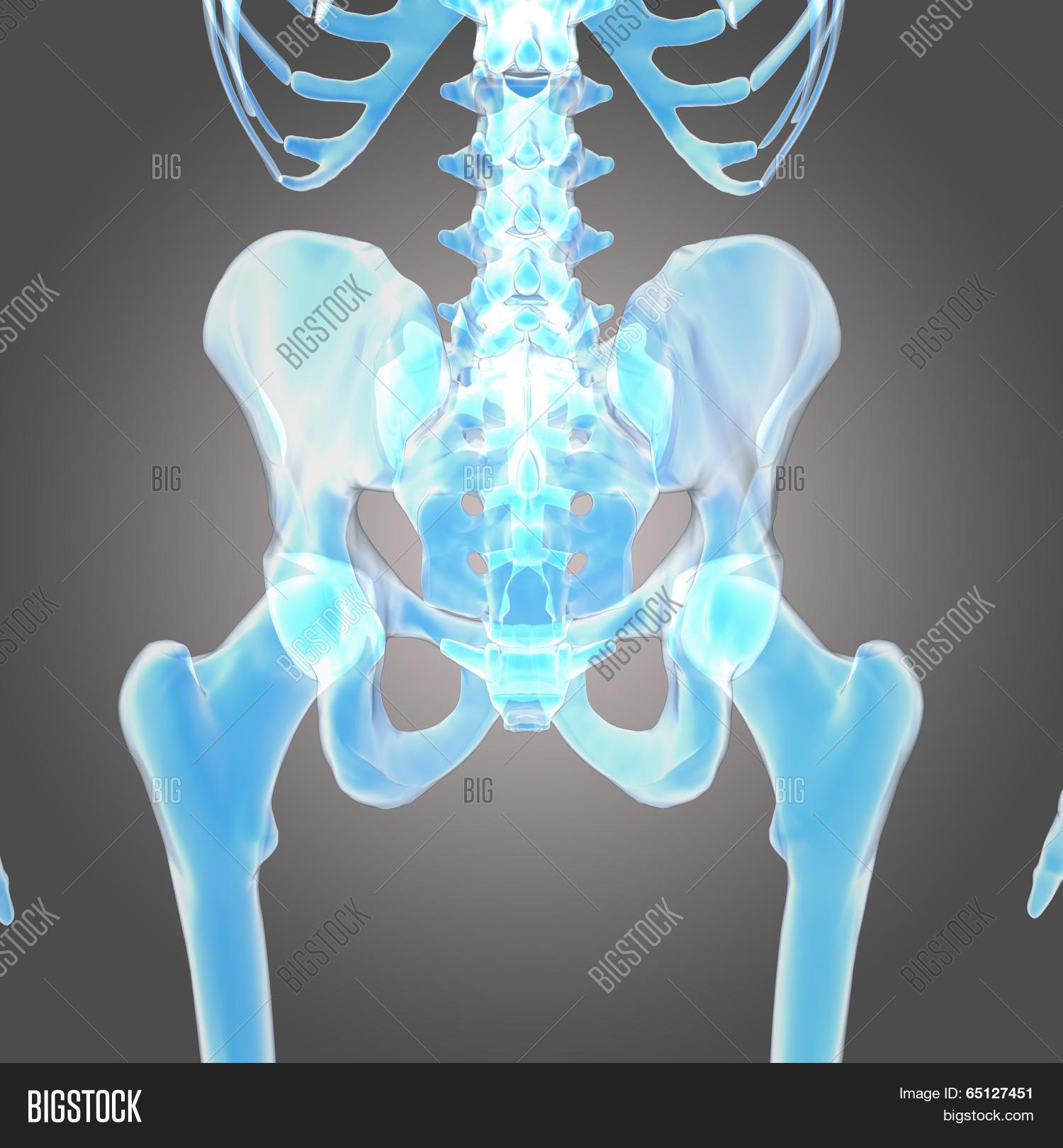 Hip Skeleton Image Photo Free Trial Bigstock