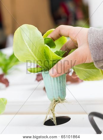 Organic Hydroponic Vegetable On Hand