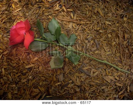 A Rose Trampled On The Ground
