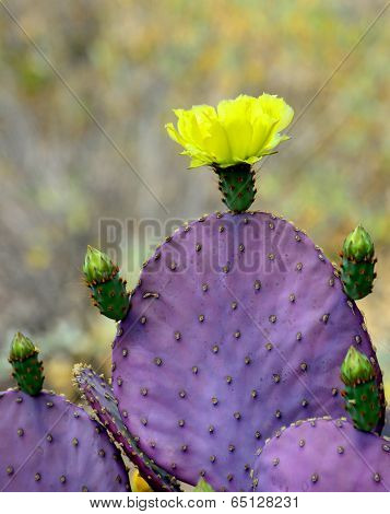 A purple-leaf prickly pear cactus.
