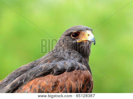 Portrait of a Harris's hawk