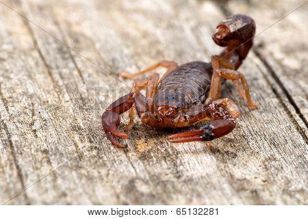 Close Up Macro Image Of Devil Scorpion (vaejovis Carolinianus) Native To The Southeastern United Sta
