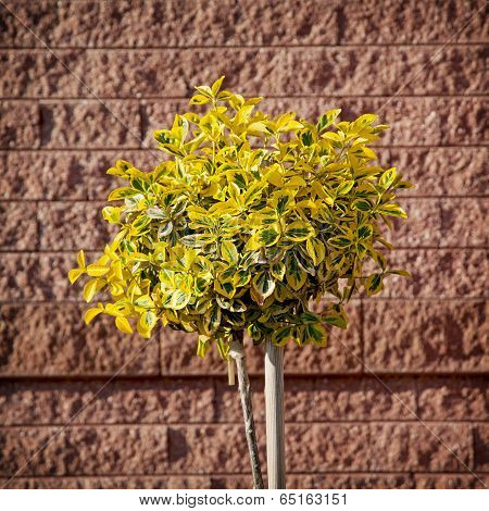 Yellow-green Emerald gold (Euonymus fortunei) planted in front of brick wall. poster