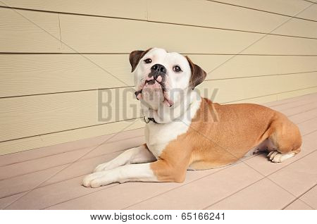 Bulldog Laying On An Outdoor Patio