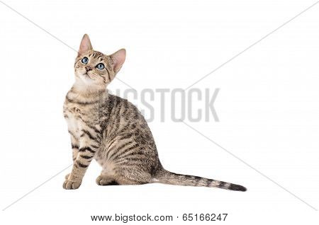 Adorable Tabby Kitten With A Long Tail
