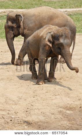 Elephants family playing in the dust. Horizontal shot. poster