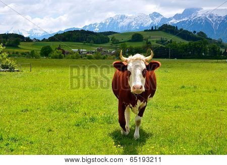 Swiss Cow On A Summer Pasture