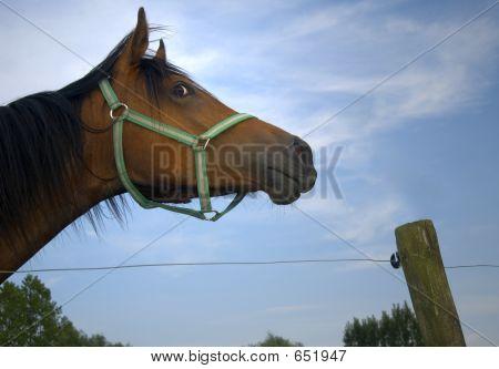 Staring Horse
