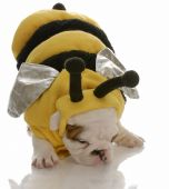 english bulldog puppy dressed up as a bee poster