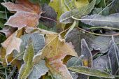 The many leafs and frost in winter. poster