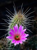 Desert flowers are beautiful with vivid colors and they are always surrounded by sharp prickly thorns. They bloom briefly and when they do the Sonoran desert comes alive with color. poster