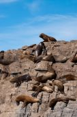 South American Fur Seal Colony in Ushuaia Patagonia poster