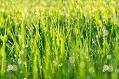 background from a green grass on a lawn with dew drops poster