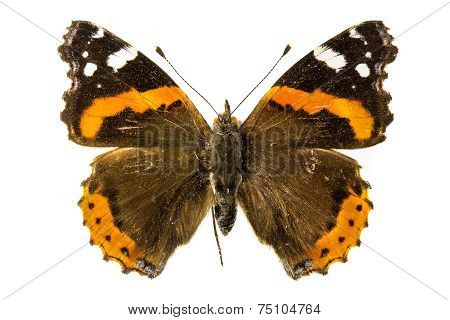 Red Admiral Butterfly (Vanessa atalanta) on a white background poster