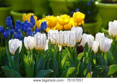 Beautiful White And Yellow Tulips And Blue Flowers.