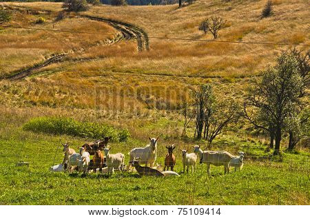 Goats at autumn coutryside landscape on a sunny day, Cemerno mountain