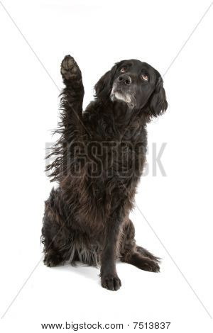 black mixed breed dog (half setter)